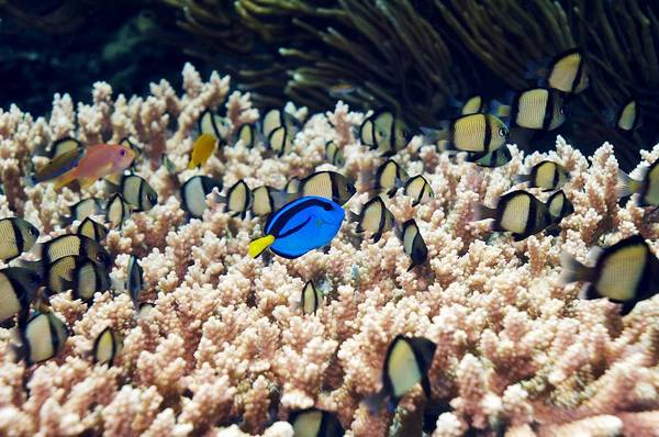 Paracanthurus Hepatus Poster featuring the photograph Palette Surgeonfish Over Coral by Georgette Douwma