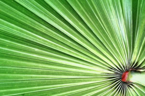Green Poster featuring the photograph Palm Leaf by Rudy Umans