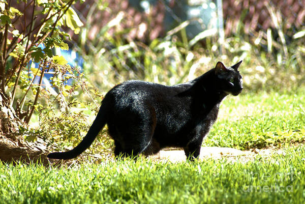 Cat Poster featuring the photograph Panther In The Backyard by Cheryl Poland