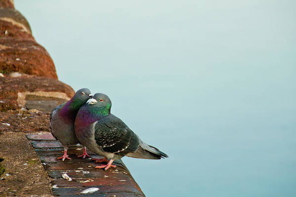 Horizontal Poster featuring the photograph Pigeons In Love by Image by J. Parsons