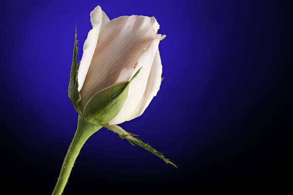 Rose Poster featuring the photograph Pink Rose Bud Blue Background by M K Miller