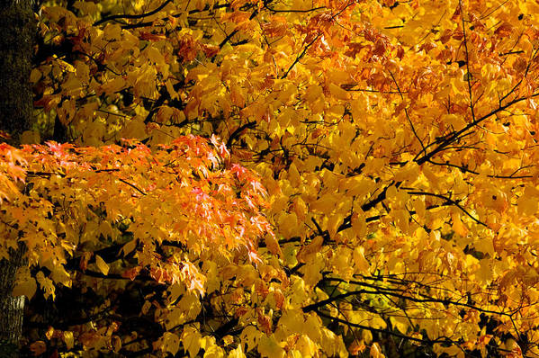 Yellow Leaves Poster featuring the photograph Showing Off by Rich Franco