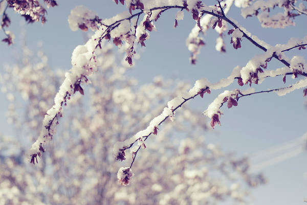 Horizontal Poster featuring the photograph Snow On Spring Blossom Branches by Bonita Cooke