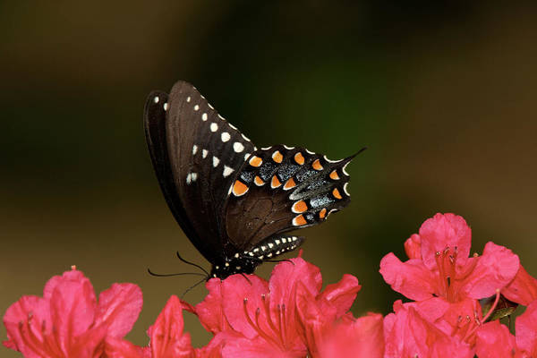 Butterfly Poster featuring the photograph Spice Bush Swallowtail And Azaleas by Lara Ellis