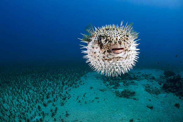 Alone Poster featuring the photograph Spotted Porcupinefish II by Dave Fleetham