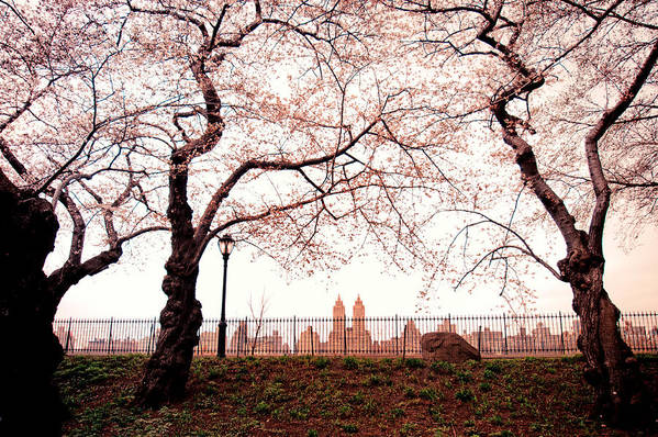Spring Poster featuring the photograph Spring Cherry Blossoms - Central Park Reservoir by Vivienne Gucwa