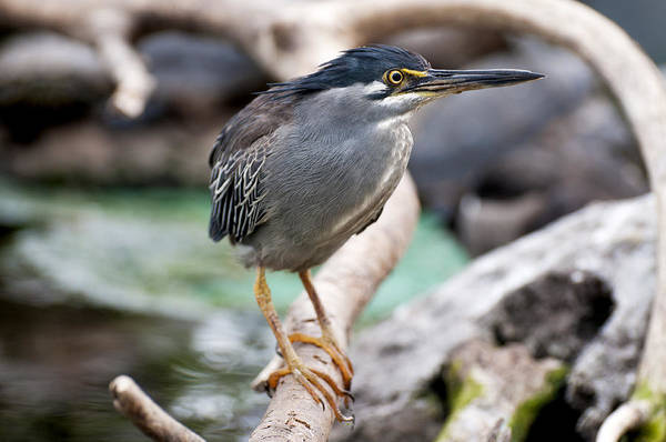 Striated Heron Poster featuring the photograph Striated Heron by Fabrizio Troiani