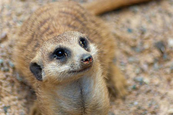 Meerkat Poster featuring the photograph Sweet Meerkat Face by Carolyn Marshall