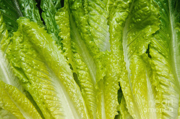 Romaine-lettuce Poster featuring the photograph The Heart Of Romaine by Andee Design