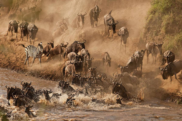 Horizontal Poster featuring the photograph Wildebeest And Zebra by Marsch1962UK