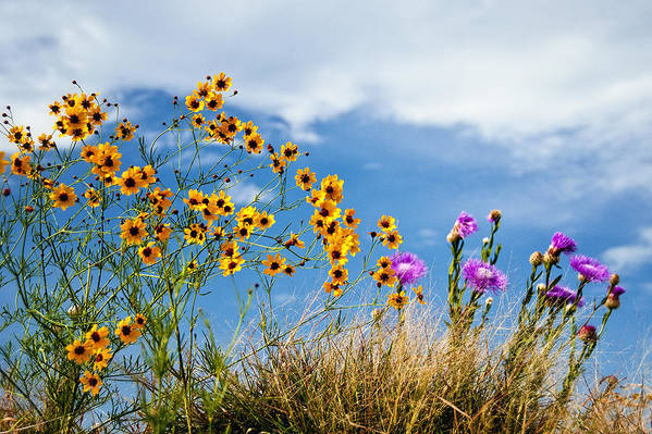 Wildflower Poster featuring the photograph Wildflower Weed by Tamyra Ayles