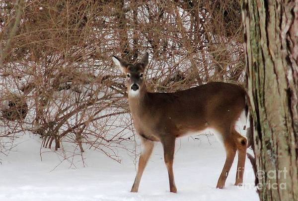 Deer Poster featuring the photograph Young Buck by Elizabeth Hernandez