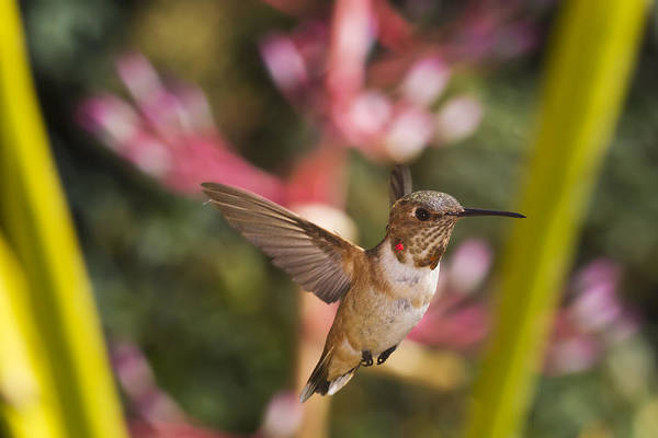 Allen's Hummingbird Poster featuring the photograph Allen's Hummingbird by Mike Herdering