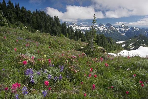Anemone Occidentalis Poster featuring the photograph Mountain Meadow by Bob Gibbons