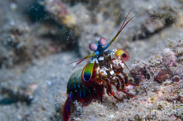 Invertebrate Poster featuring the photograph Close-up View Of A Mantis Shrimp, Papua by Steve Jones