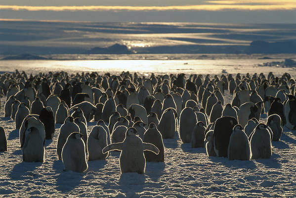 Mp Poster featuring the photograph Emperor Penguin Aptenodytes Forsteri by Pete Oxford