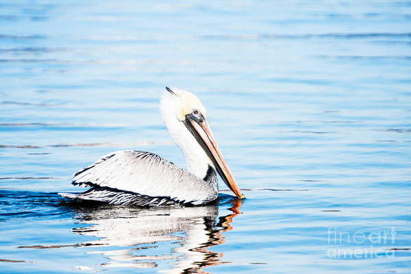 Brown Pelican Poster featuring the photograph Brown Pelican by Michael McStamp