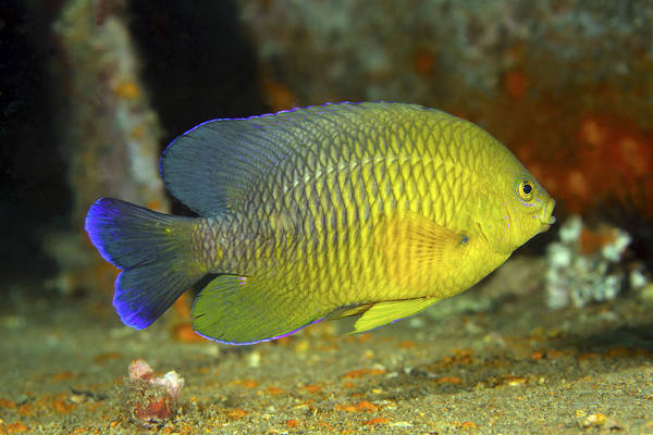 Fish Poster featuring the photograph A Dusky Damselfish Offshore From Panama by Michael Wood