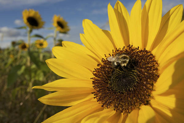 Concord Poster featuring the photograph A Honey Bee Visiting A Sunflower by Tim Laman