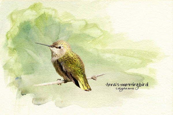 Beve Brown-clark Poster featuring the photograph Anna's Hummingbird - Female by Beve Brown-Clark Photography