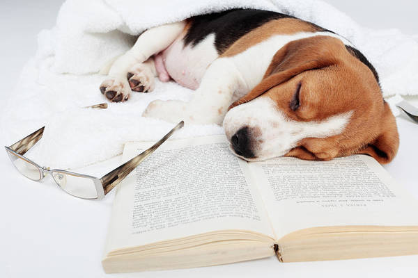 Beagle Poster featuring the photograph Boring Book by Floriana Barbu