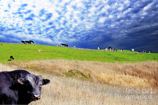 Cow Poster featuring the photograph Calm Before The Storm by Wingsdomain Art and Photography