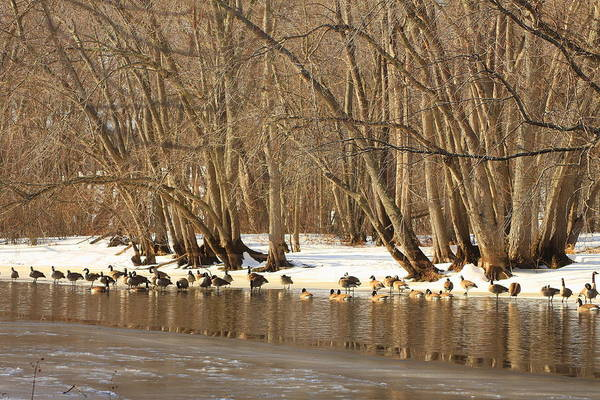 Wildlife Poster featuring the photograph Canada Geese On Concord River by John Burk