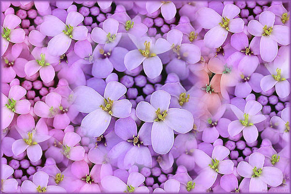 Horizontal Poster featuring the photograph Candytuft by Mary P. Siebert