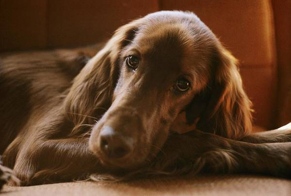 Irish Setter Dogs Poster featuring the photograph Close View Of An Irish Setter Relaxing by Brian Gordon Green