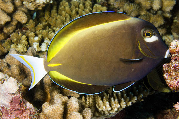 One Animal Poster featuring the photograph Closeup Of A Whitecheek Surgeonfish by Tim Laman