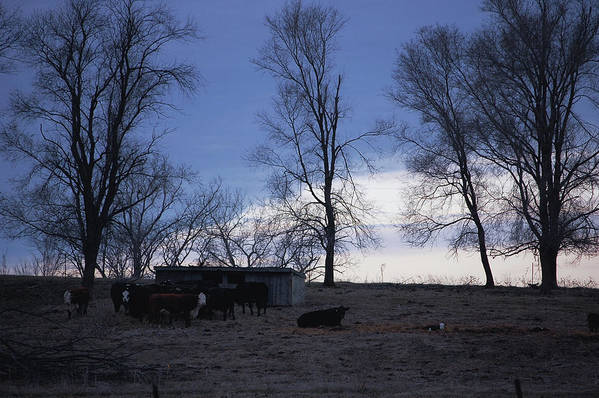 Cows Poster featuring the photograph Cold Iowa Evening by Jame Hayes