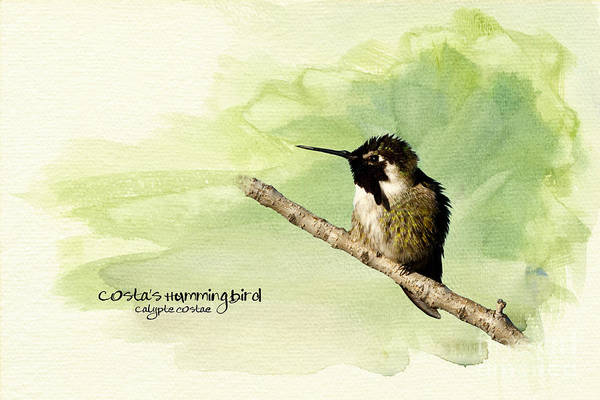 Hummingbirds Poster featuring the photograph Costa's Hummingbird by Beve Brown-Clark Photography
