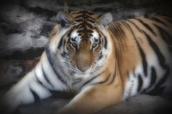 Aminal Kingdom Poster featuring the digital art Dreamy Tiger by Sandy Keeton