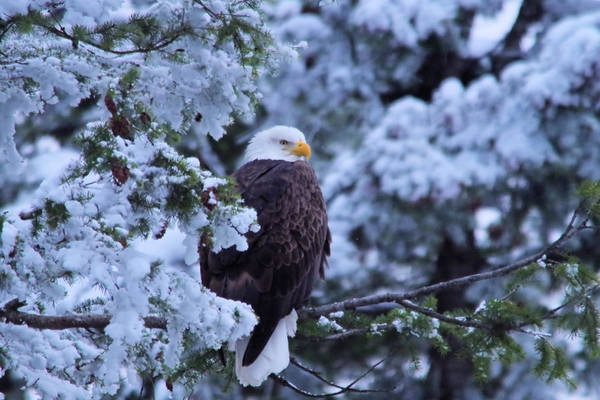 Eagle Poster featuring the photograph Eagle In A Frosted Tree by Jeff Swan