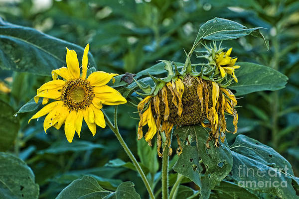 Sunflowers Poster featuring the photograph End Of The Season by Edward Sobuta