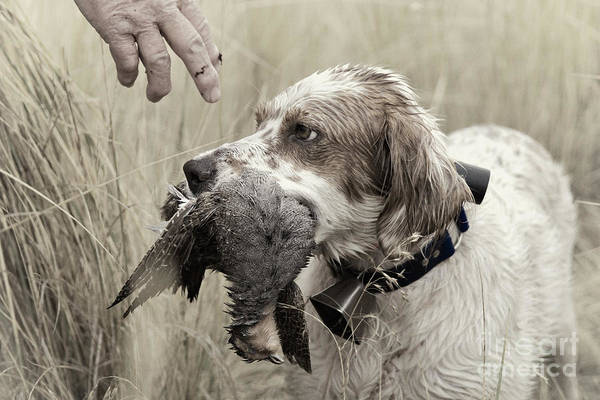 Faded Poster featuring the photograph English Setter And Hungarian Partridge - D003092a by Daniel Dempster