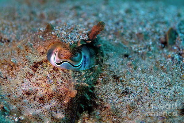 Animal Poster featuring the photograph Eye Of A Common Cuttlefish by Sami Sarkis