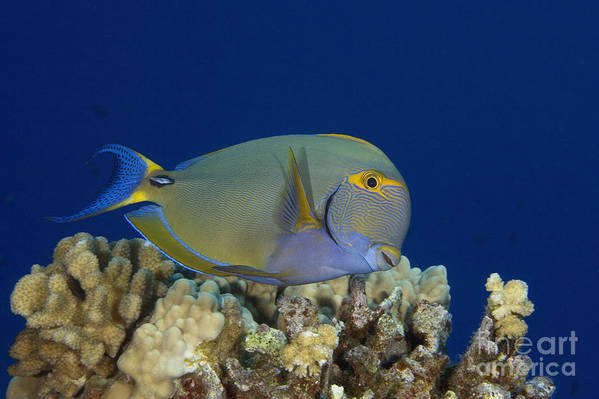Acanthurus Poster featuring the photograph Eyestripe Surgeonfish by Dave Fleetham - Printscapes
