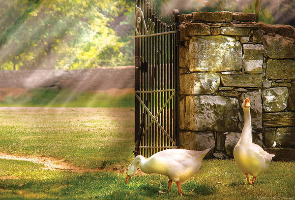 Savad Poster featuring the photograph Farm - Geese - Birds Of A Feather by Mike Savad