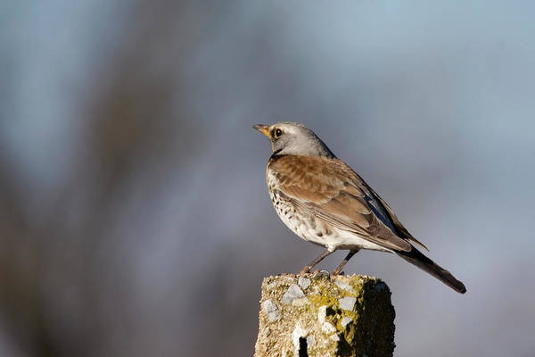 Fieldfare Poster featuring the photograph Fieldfare Watching by Cliff Norton