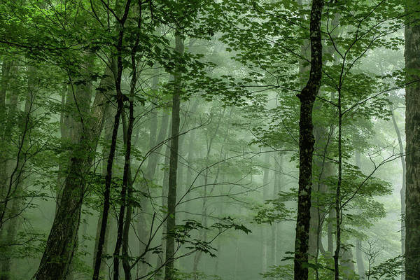 Fog Poster featuring the photograph Fog In The Forest by Louise Lindsay
