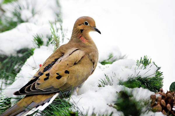 Dove Poster featuring the photograph Holiday Dove by Christina Rollo