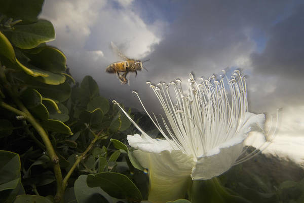 Mp Poster featuring the photograph Honey Bee Apis Mellifera Approaching by Mark Moffett