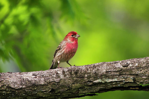 Bird Poster featuring the photograph House Finch by Christina Rollo