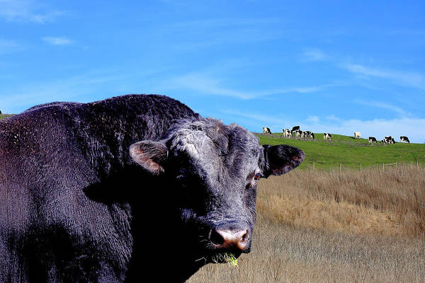 Cow Poster featuring the photograph Its A Bulls Life by Wingsdomain Art and Photography