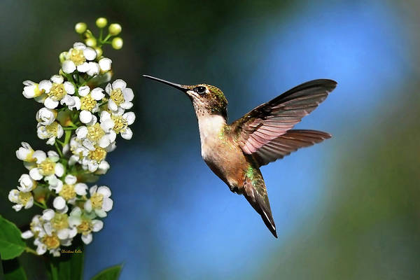 Hummingbird Poster featuring the photograph Just Looking by Christina Rollo