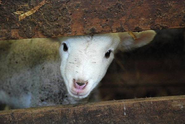 Horizontal Poster featuring the photograph Lamb by Christy Majors