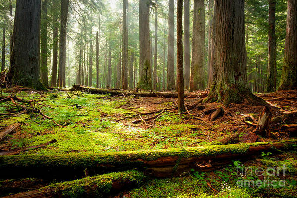 Forest Poster featuring the photograph Light In The Forest by Idaho Scenic Images Linda Lantzy