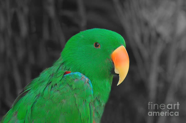 Beak Poster featuring the photograph Male Eclectus by Mickey At Rawshutterbug