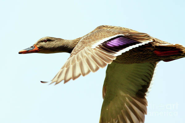 Bird Poster featuring the photograph Mallard In Flight . 40d5450 by Wingsdomain Art and Photography